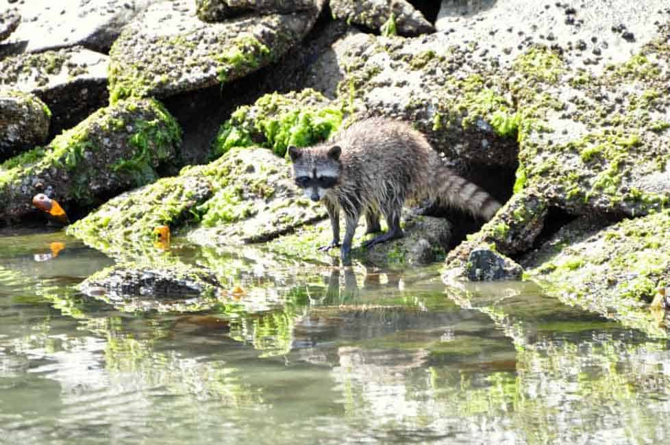 Racoon foraging at low tide. Citrus Chardonnay-Glazed Salmon |www/flavourandsavour.com