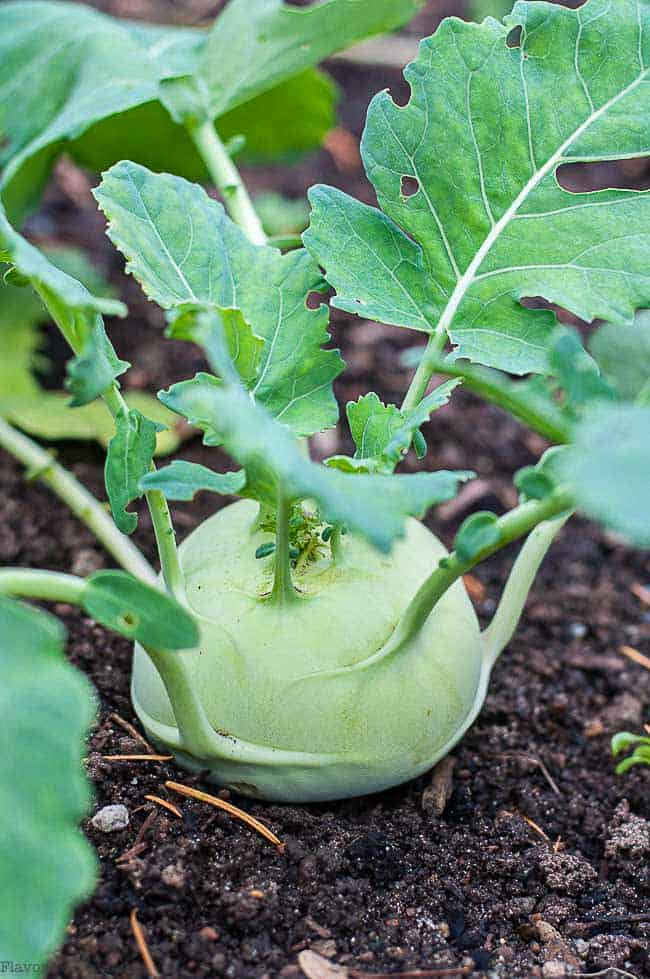Kohlrabi plant growing in garden
